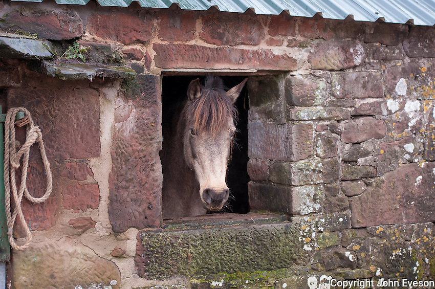 Cross-bred pony looking out of a farm building, Seascale, Cumbria.