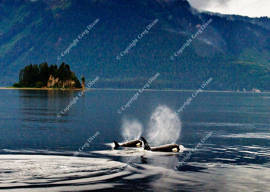 A mother orca (killer whale) and her calf spout in unison, as they pass in front of a small island near Hoonah, Alaska on Sun., Sept 4, 2011