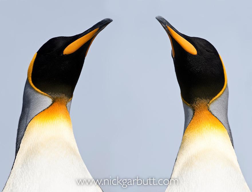 King Penguins (Aptenodytes patagonicus). Salisbury Plain, South Georgia. (digitally stitched image)