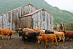 Cowboy sorting cattle on a rainy day at the Pasagshak Ranch, Kodiak Island,  southwest Alaska