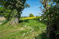 Field entrance to oil seed rape field - Norfolk, May
