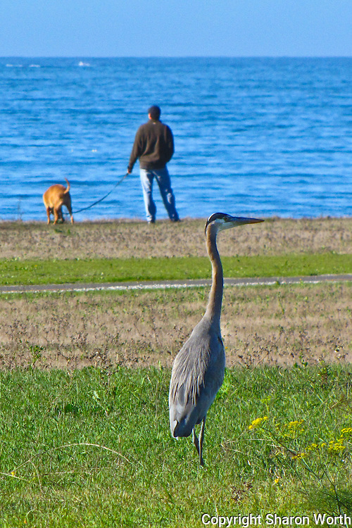 A man and his dog take a break from their walk along the Half Moon Bay Coastal Trail to enjoy the view while a great blue heron prowls for its lunch.