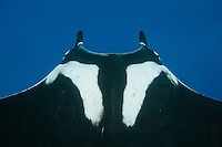 RM0233-D. Manta Ray (Manta birostris), view from above looking down onto dorsal suface behind head. Some call this the &quot;chevron&quot; manta because of the white markings. Faint mark to the left, which looks like shoe tread, is where a remora was attached. Baja, Mexico, Pacific Ocean.<br /> Photo Copyright &copy; Brandon Cole. All rights reserved worldwide.  www.brandoncole.com