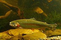 Regenbogenforelle, Regenbogen-Forelle, Regenbogen - Forelle, Oncorhynchus mykiss, Salmo gairdneri, Rainbow trout, la truite arc-en