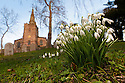 Clump of Snowdrops {Galanthus nivalis} flowering in Bonsall village with church in background, Derbyshire. UK