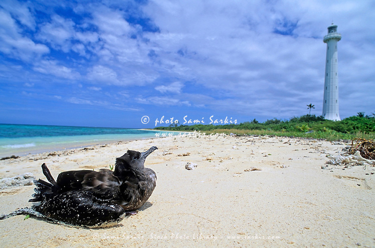 Bird sitting on the white sand beach looking toward the lighthouse, Amedee Island, Noumea Lagoon, New Caledonia.