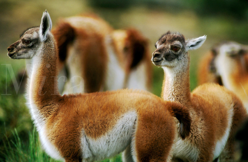 GUANACOS (Lama guanicoe) babies in TORRES DEL PAINE NATIONAL PARK - PATAGONIA, CHILE