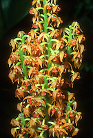 Polystachya paniculata, orchid species
