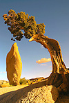 A twisted juniper tree sets the frame for a strking monolith at sunset in Joshua Tree National Park California.