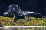 USA, Alaska, Glacier Bay National Park, Steller sea lion (Eumetopias jubatus)