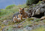 Argentine grey fox, Torres del Paine National Park, Chile