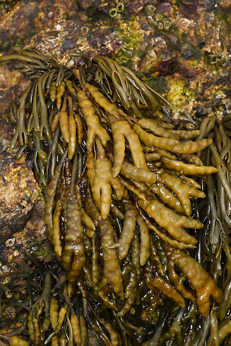 Channelled Wrack - Pelvetia canaliculata
