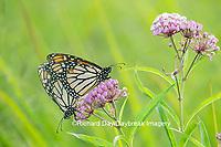 03536-05512 Monarch Butterflies (Danus plexippus) male and female mating on Swamp Milkweed (Asclepias incarnata), Marion Co.,  IL
