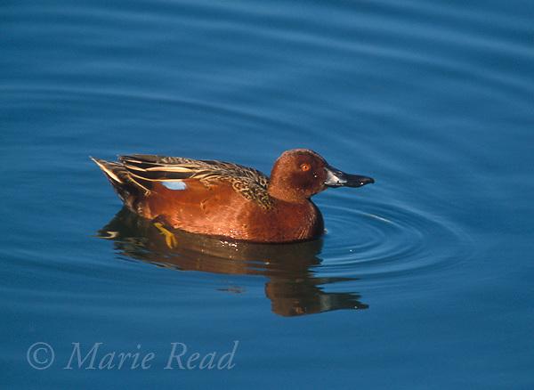 CinnamonTeal (Anas cyanoptera) male in breeding plumage, swimming, Newport Bay, California, USA<br /> Slide # B241922