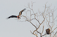 "Critially endangered Red-headed Vulture (Sarcogyps calvus) flies in to feed on a dead cow at a ""vulture restaurant."" (Cambodia)"