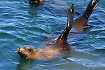 CA sea lions swimming