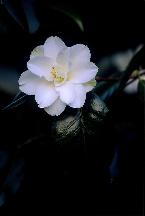 Moody, close-up of single white bloom of Camellia japonica after sunset, Stanley Park, Vancouver, BC