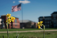 Daffodils with view to Drill Field flag and Mitchell Memorial Library.<br />  (photo by Megan Bean / &copy; Mississippi State University)