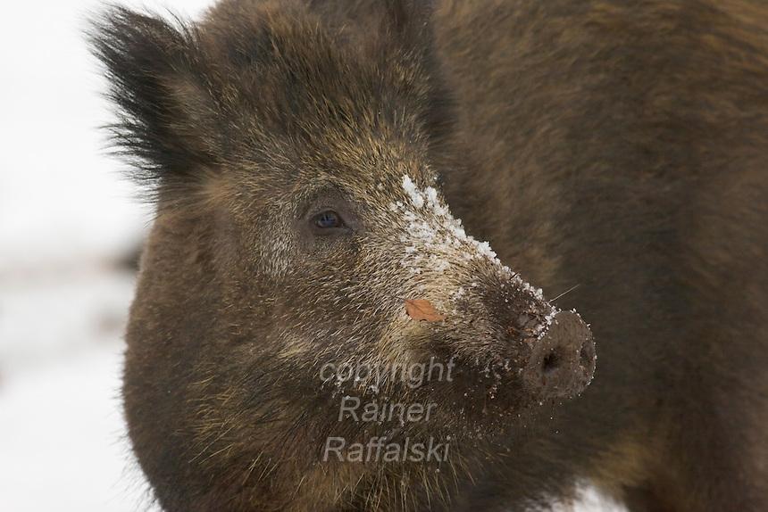 Germany, DEU, Arnsberg, 2005-Mar-07: A wild boar (sus scrofa) in the snowy Wildwald Vosswinkel preserve.