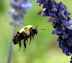 COLD SPRING HARBOR,NY-FRIDAY, SEPTEMBER 14, 2007: A Bee buzzes amid the blooms on the campus of Cold Spring Harbor Laboratory in Cold Spring Harbor. <br /> Newsday / Jim Peppler