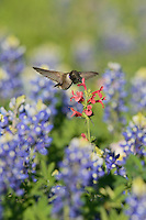 Black-chinned Hummingbird (Archilochus alexandri), adult male feeding on blooming Scarlet betony (Stachys coccinea) among Texas Bluebonnet (Lupinus texensis), Hill Country, Texas, USA