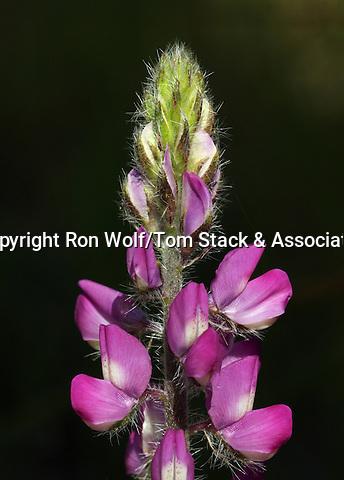 Stinging Annual Lupine (Lupinus hirsutissimus). Stevens Creek County Park. Cupertino, Santa Clara Co., Calif.
