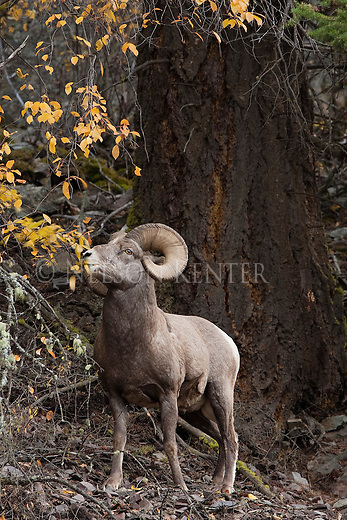 A Bighorn Sheep ram nibbles on leaves in Montana