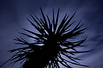Moonrises behind Mojave Yucca in Joshua Tree National Park