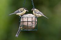 Kohlmeise an der Vogelfütterung, Fütterung am Fettfutter, Meisenknödel, Kohl-Meise, Meise, Meisen, Parus major, great tit. Ganzjahresfütterung, Vögel füttern im ganzen Jahr, Vogelfutter der Firma GEVO, Riesen-Meisenknödel in Meisenknödelhalter