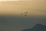Geese flying over Kootenai National Wildlife Refuge in the early morning light in Idaho during the fall