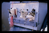 """The 1100 mile """" Iditarod """" dog sled race from Anchorage to Nome in Alaska. Photo taken in March 1986 . (Anacleto Rapping @2007)"""