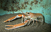 Kaisergranat, Schlankhummer, Kaiserhummer, Kronenhummer, Scampi, Nephrops norvegicus, Tiefseehummer, Norway lobster, Norway clawed lobster, Dublin Bay lobster, Dublin Bay prawn