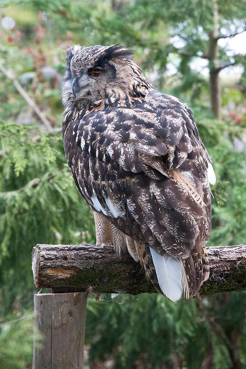 Eagle owl (Bubo bubo).