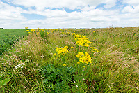 Field margin with flowering ragwort - Lincolnshire, July