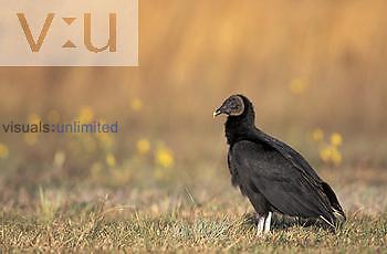 Black Vulture, Indian Lake Estates, Florida, USA