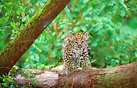 jaguar, Panthera onca, cub, climbing on a tree