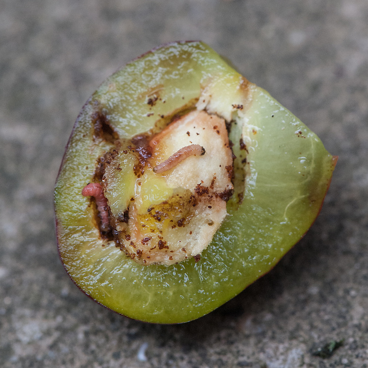 Caterpillar or larva of plum fruit moth (Cydia funebrana). Sometimes called a red plum maggot.