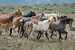 A family band of wild horses moves across the Sand Wash Basin Wild Horse Management Area in northwest Colorado.
