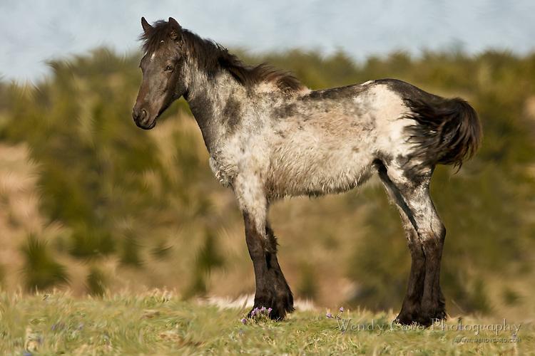 Yearling shedding his white baby coat displaying black markings, Pryor Mountains, Wyoming