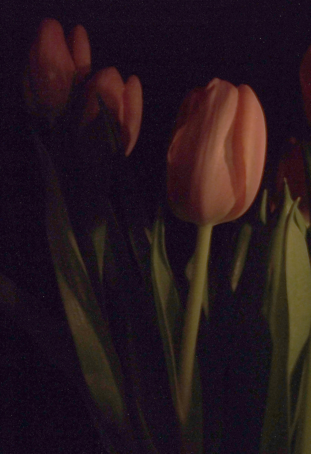 At Night With Tulips