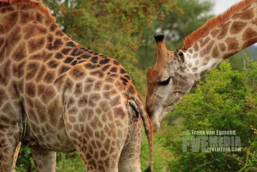 Male giraffe checking if female is ready to mate. (Giraffa camelopardalis).. Fall, March, 2007..Kruger National Park, South Africa