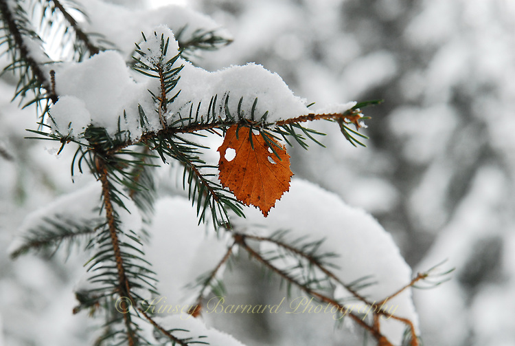 Cottonwood leaf hung up on the snow laden bough of a fir tree.