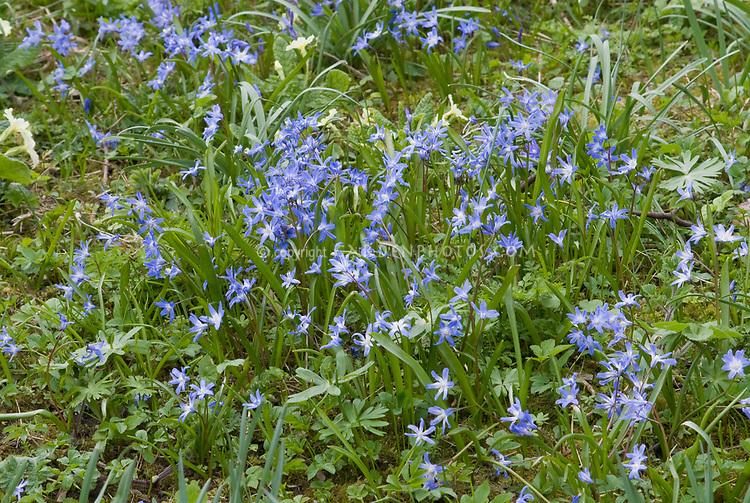 Chionodoxa sardensis blue flowers spring bulbs