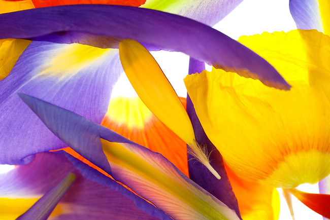 A composition of poppy, iris and gerbera petals
