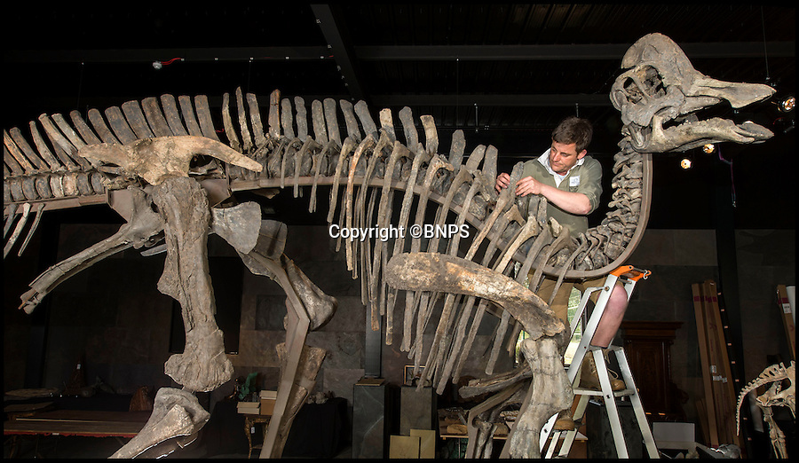 BNPS.co.uk (01202 558833)<br /> Pic: PhilYeomans/BNPS<br /> <br /> Sold for £117,000 - Quacking price for duck billed dino.<br /> <br /> Fancy a duck billed dino for your living room...? - Auctioneer Rupert van der Werff with a 180 million year old 'Statement piece'.<br /> <br /> The contents of a closed down natural history museum has been auctioned off in a once-in-a-180 million year lifetime sale today.<br /> <br /> The collection of old dinosaur bones and fossils had been displayed for years at the internationally-acclaimed Emmen Zoo in Holland.<br /> <br /> The highlight of the sale to be held in West Sussex is the complete skeleton of a 25ft long harpocrasaurus or a duck-billed dinosaur which dates back to 75 million years ago.