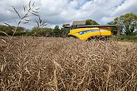 Harvesting oil seed rape - Lincolnshire, August