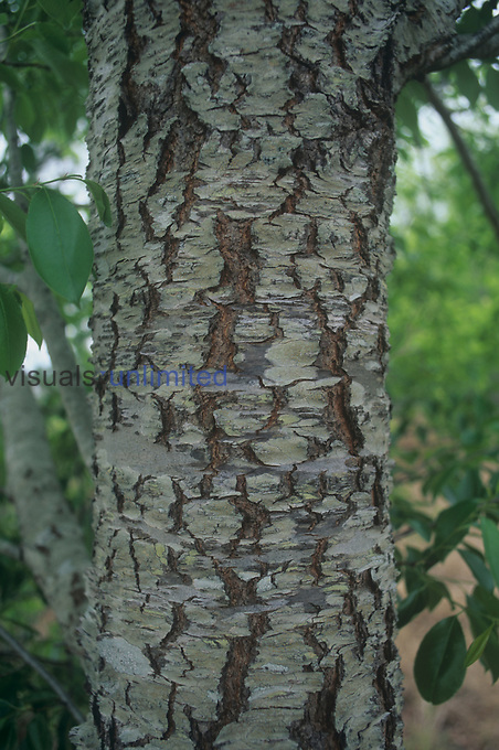 Black Cherry bark (Prunus serotina), North America.