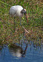 Wood Stork, Mycteria americana is a large American wading bird in the stork family Ciconiidae.  Everglades NP, Florida