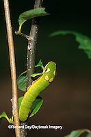 03029-010.06 Spicebush Swallowtail (Papilio troilus) caterpillar eating Spicebush (Benzoin aestivale) leaf Marion Co.  IL