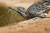 Greater Roadrunner drinking water